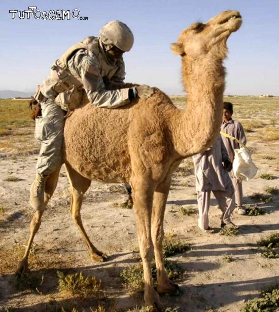 soldier-camel