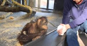 Come reagisce un orango a un trucco di magia!