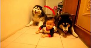 Due cani imitano il bambino che gattona
