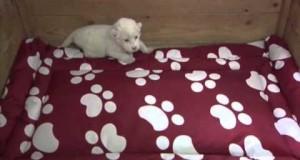 Il piccolo leone bianco impara a ruggire